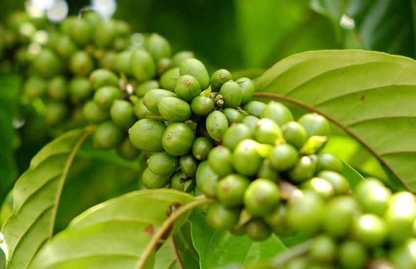 Arabica Rohkaffee