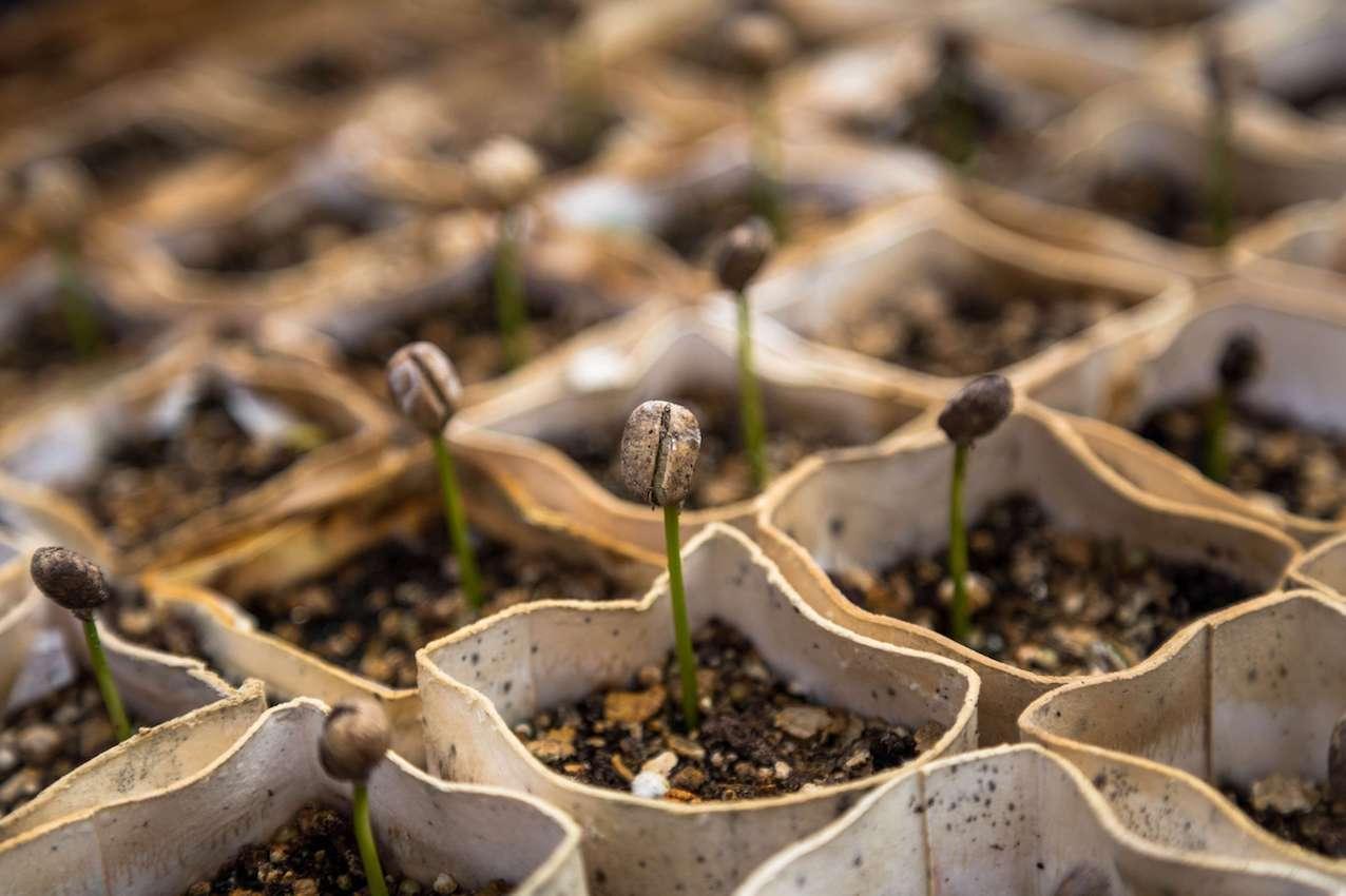 Kaffeepflanzen Monsooned Malabar