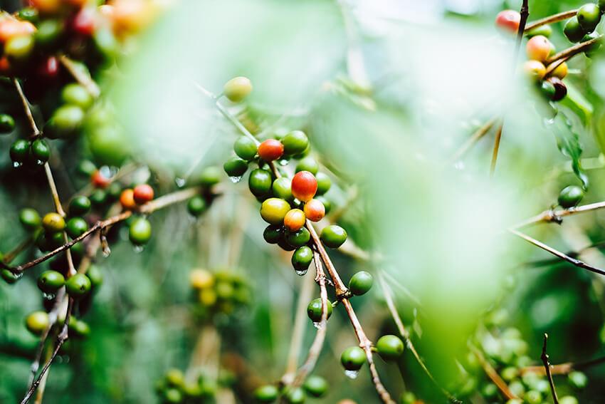 indische Kaffeebohnen