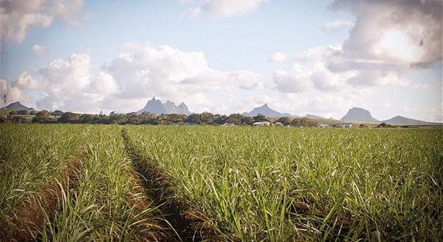 Muscovado-Zuckerrohr-Felder-Mauritius-650px
