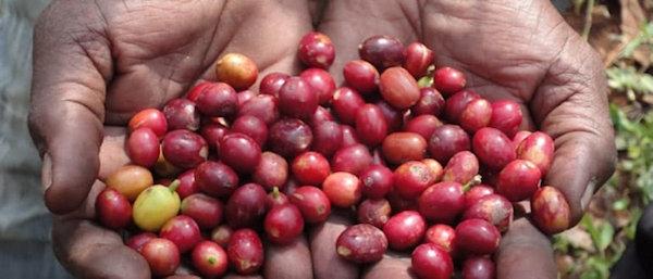 Omkafe-Terra-Viva-Espresso-UTZ-zertifiziert-kaffeebohnen-600px5a2ac2934f868